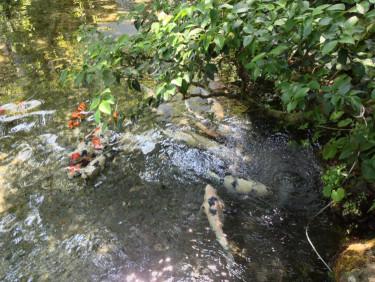 長崎 島原 鯉の泳ぐまち の 四明荘の鯉