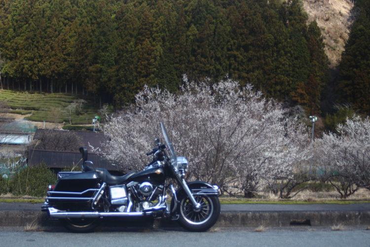 桜とショベルヘッド1983FLH