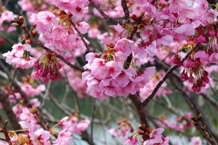 志摩辺りで撮影した桜