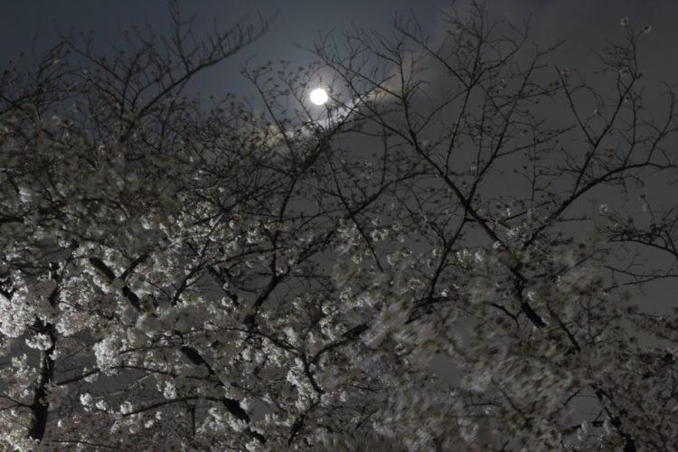 夜桜と月夜